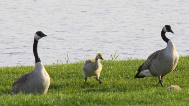 geese-family636